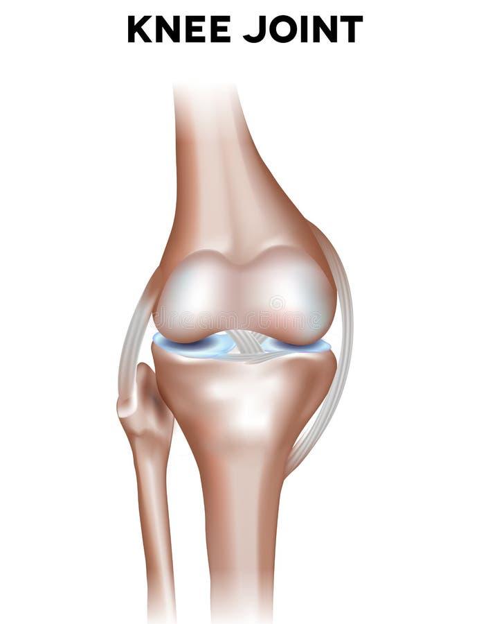 Anatomía normal de la junta de rodilla stock de ilustración