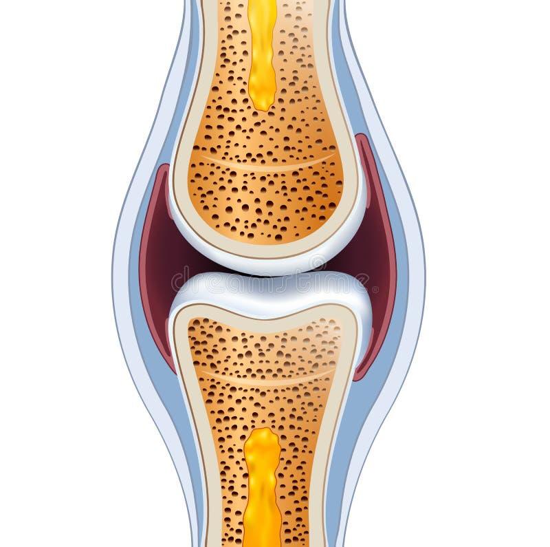 Anatomía normal de la junta sinovial stock de ilustración
