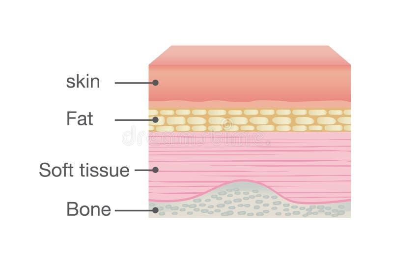 Anatomía normal de la piel del ser humano ilustración del vector