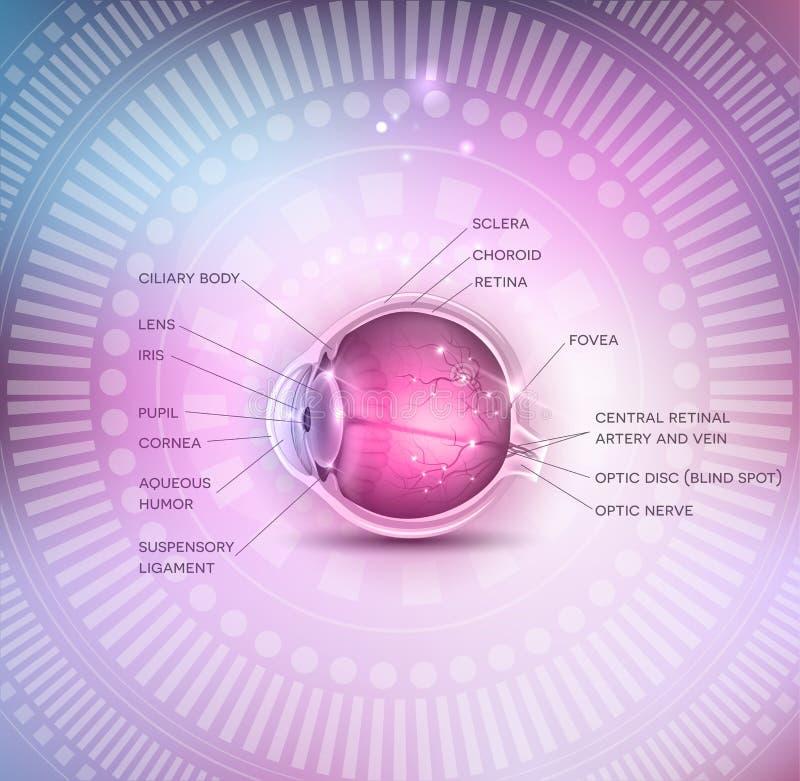 Anatomía normal del ojo libre illustration