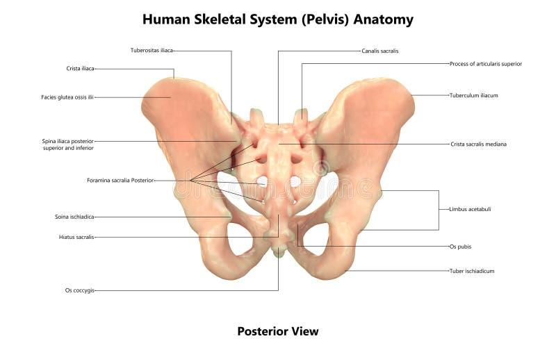 Anatomía posterior de la opinión de la pelvis del sistema esquelético del cuerpo humano stock de ilustración