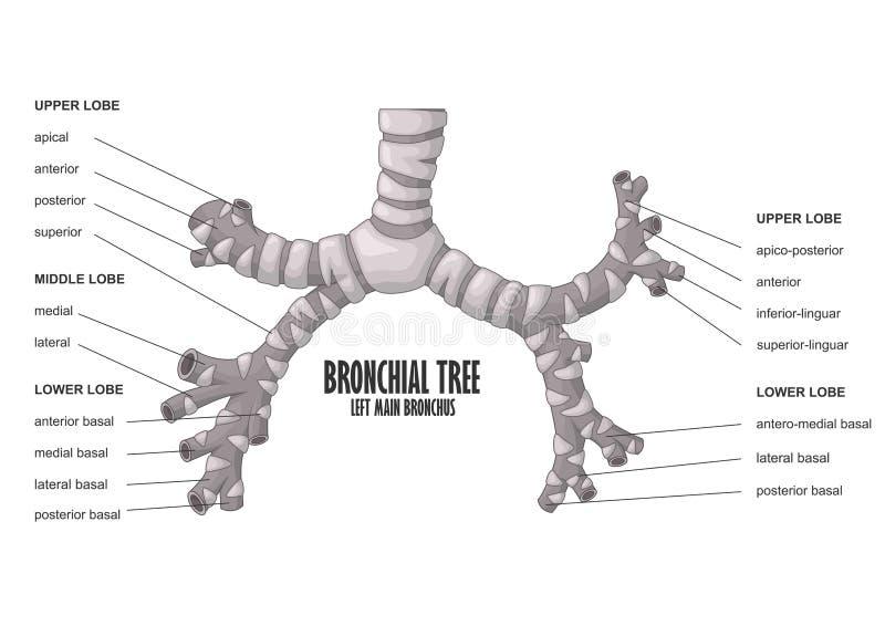 Anatomía principal izquierda del ser humano del bronquio del árbol bronquial stock de ilustración