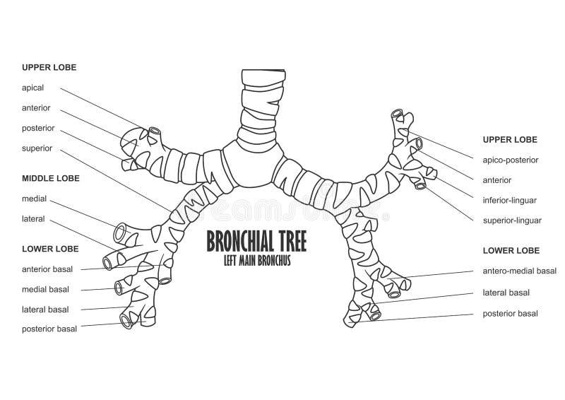 Anatomía principal izquierda del ser humano del bronquio del árbol bronquial ilustración del vector