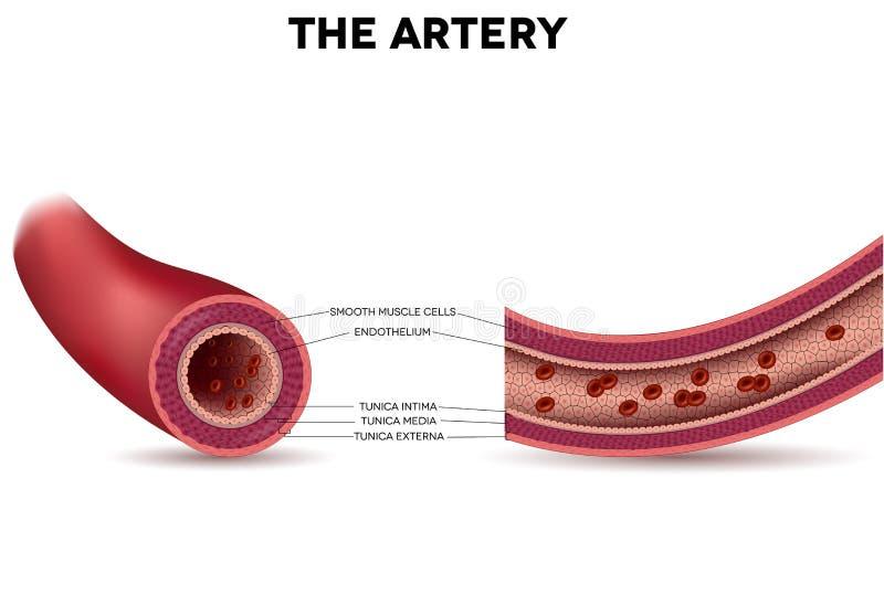 Anatomía sana de la arteria libre illustration