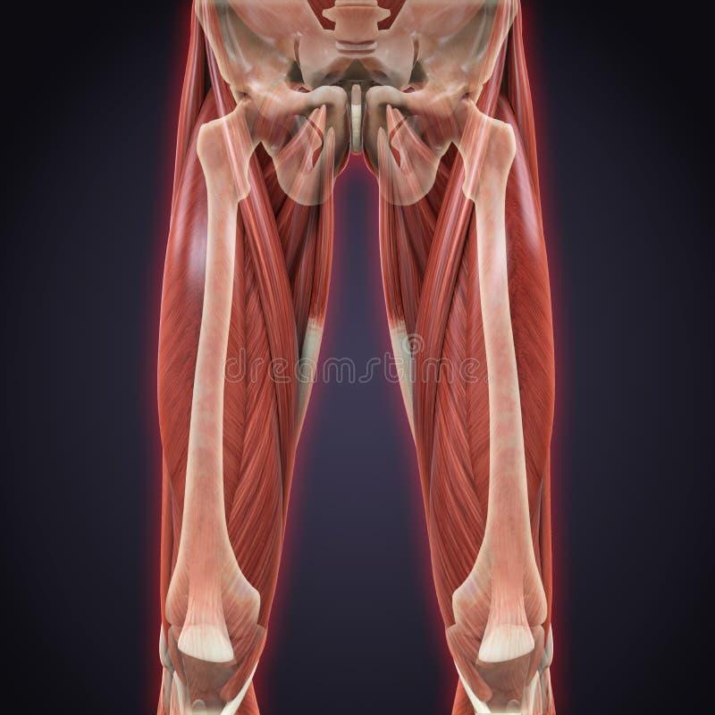 Anatomía Superior De Los Músculos De Las Piernas Stock de ...