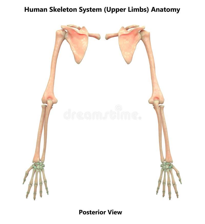 Anatomía superior de los miembros del sistema esquelético del cuerpo humano ilustración del vector