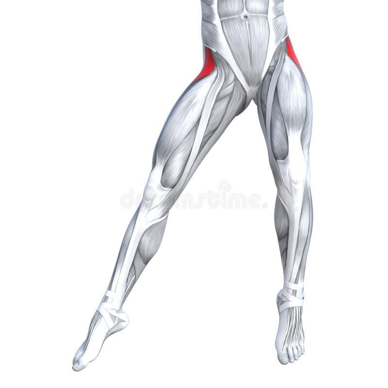 Anatomía Superior Del Ser Humano De La Pierna Del Frente Del Ejemplo ...