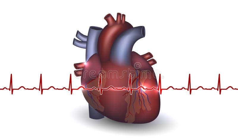 Anatomía y cardiograma del corazón en un fondo blanco libre illustration