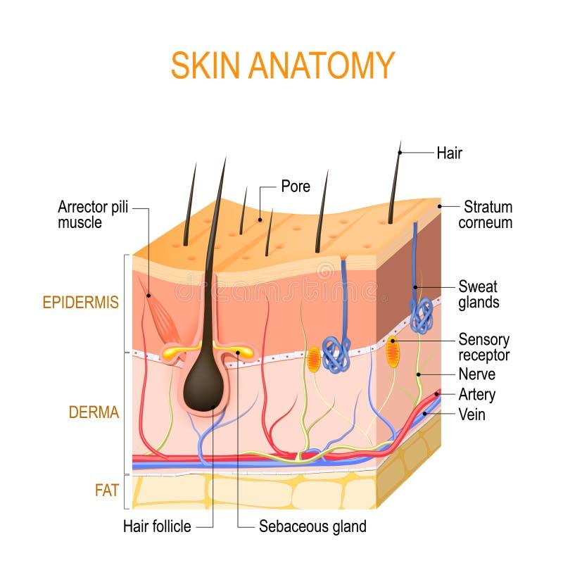 Anatom?a de la piel Capas: epidermis con folículo de pelo, sudor y glándulas sebáceas, derma y hypodermis gordos ilustración del vector