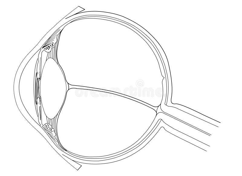 anatomiöga stock illustrationer