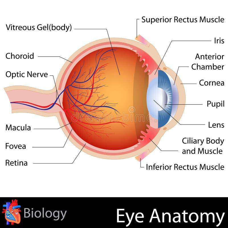 Anatomi av ögat stock illustrationer