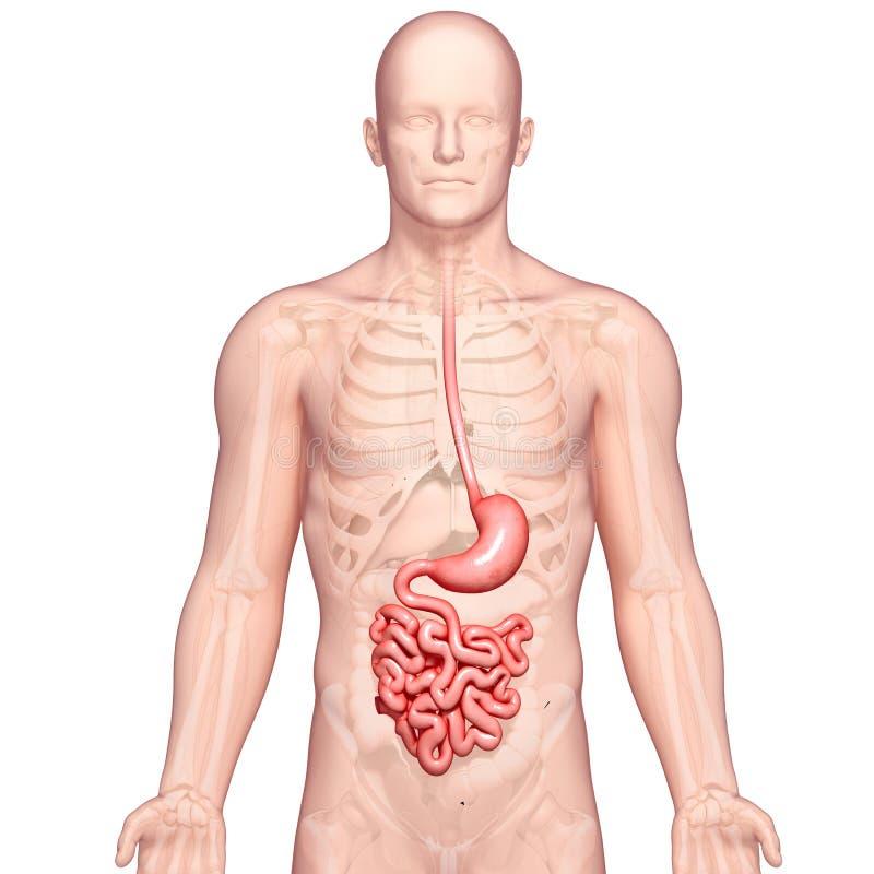 Anatomi av den mänskliga magen royaltyfri illustrationer