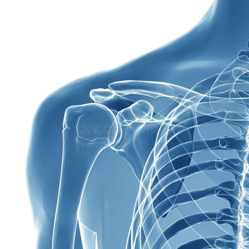 Anatomi av den mänskliga skuldraskarven arkivfoto