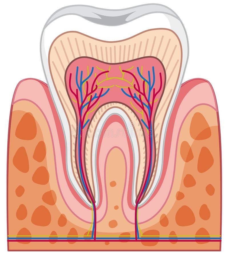 Anatomi av den mänskliga tanden vektor illustrationer