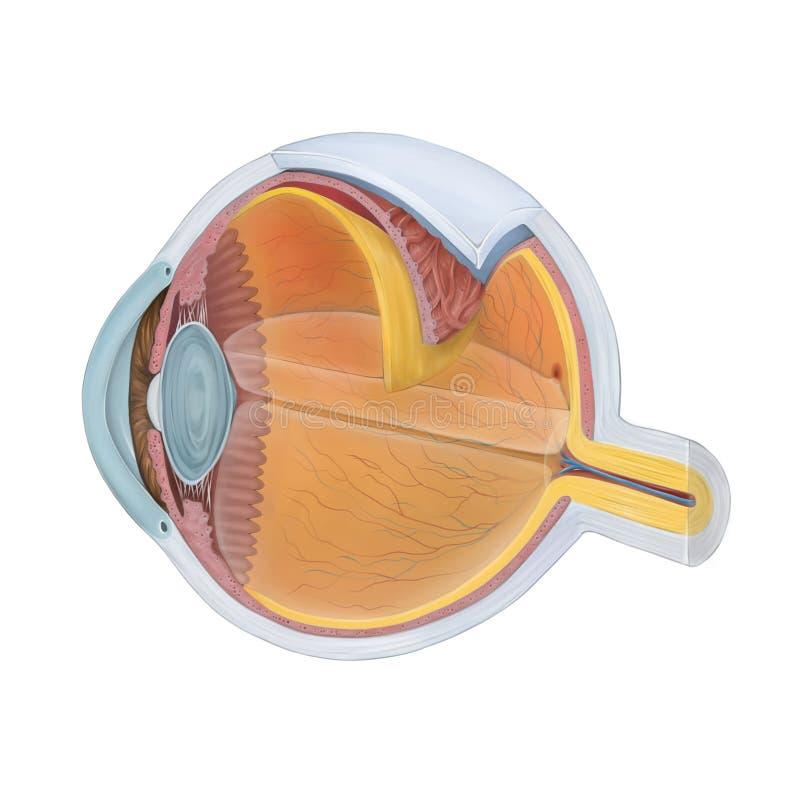 Anatomi av det mänskliga ögat royaltyfri illustrationer