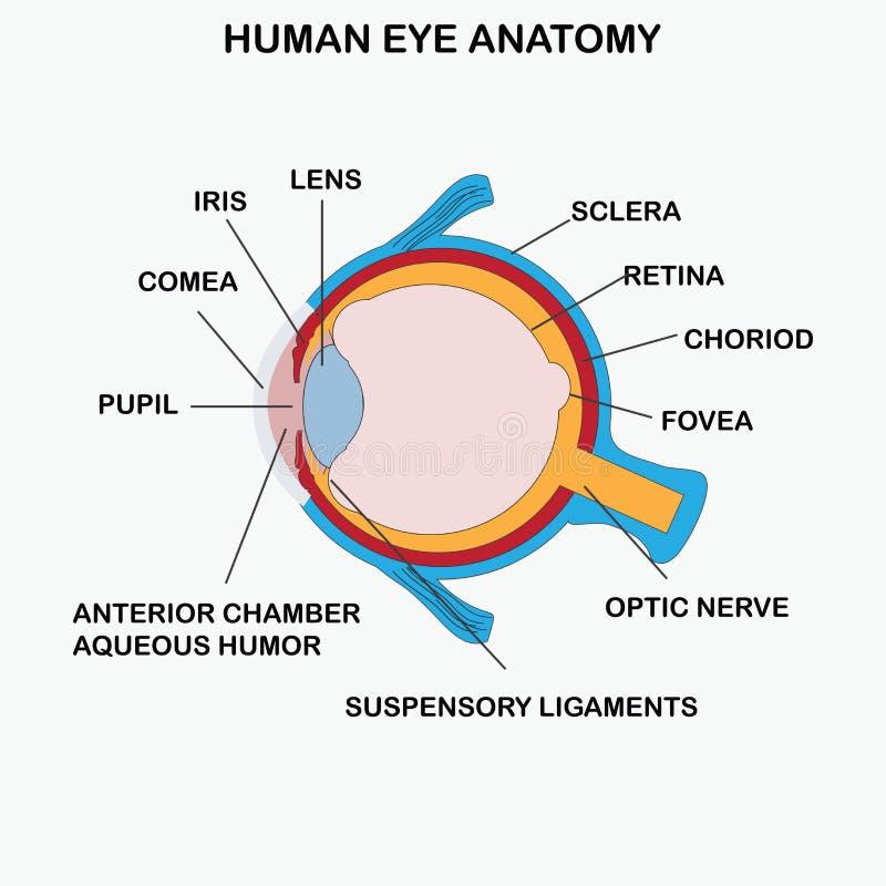 Anatomi av det mänskliga ögat vektor illustrationer