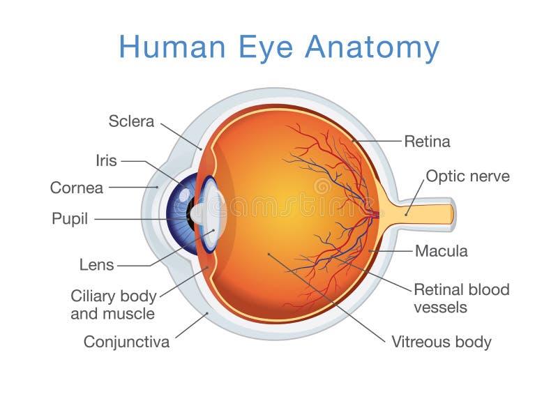 Anatomi av det mänskliga ögat och beskrivningar royaltyfri illustrationer
