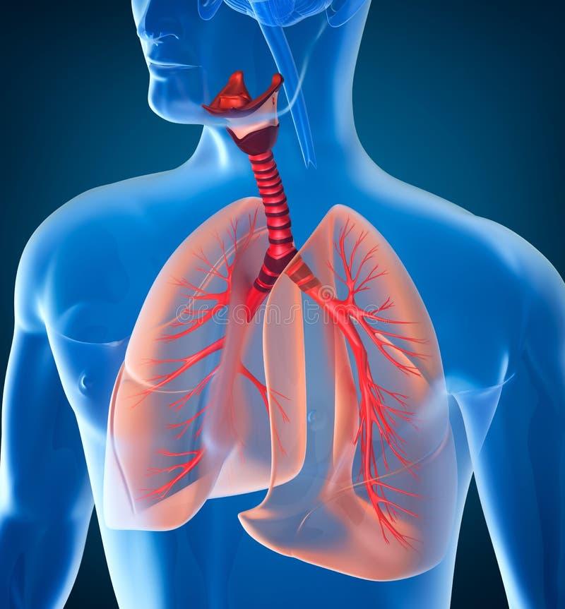 Anatomi av det mänskliga respiratoriska systemet royaltyfri illustrationer