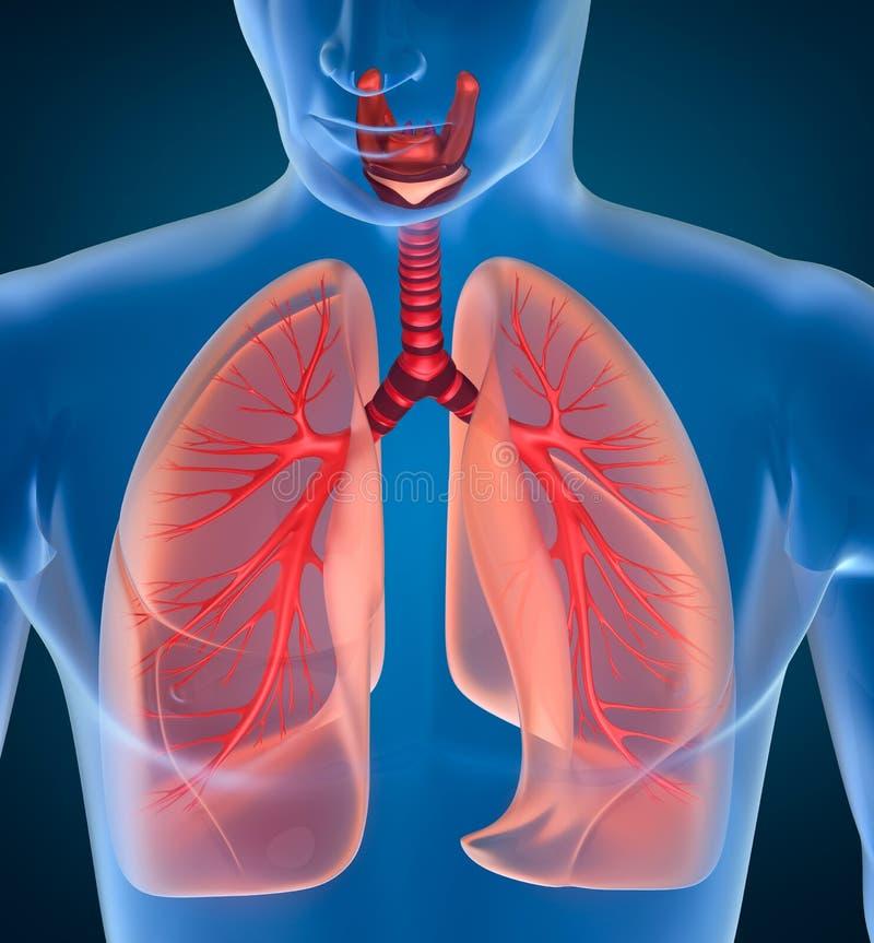 Anatomi av det mänskliga respiratoriska systemet stock illustrationer