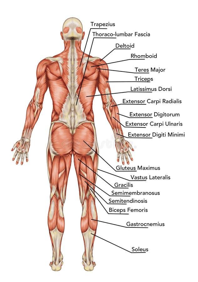 Anatomi av det male muskulösa systemet vektor illustrationer