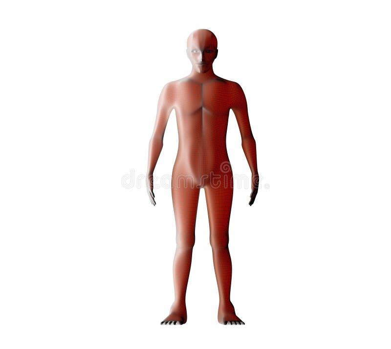 Anatomi av det male muskulösa systemet Rött mänskligt wireframehologram stock illustrationer