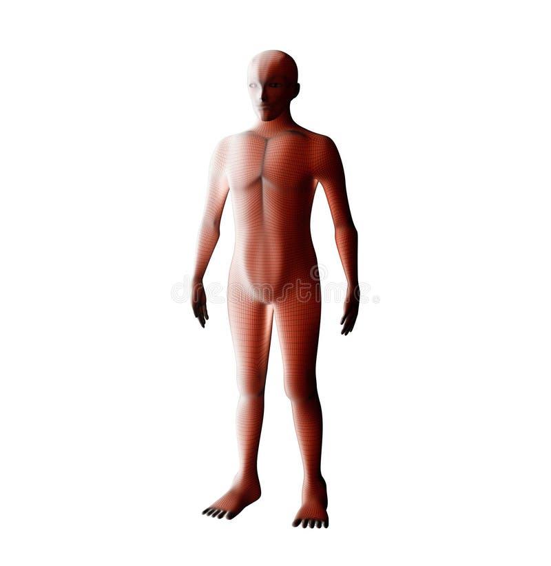 Anatomi av det male muskulösa systemet Rött mänskligt wireframehologram royaltyfri illustrationer