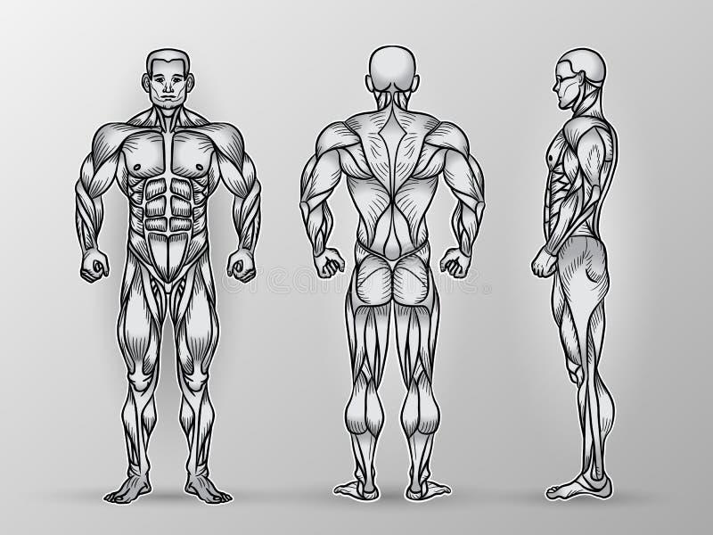 Anatomi av det manliga muskulösa systemet, övningen och muskelhandboken vektor illustrationer
