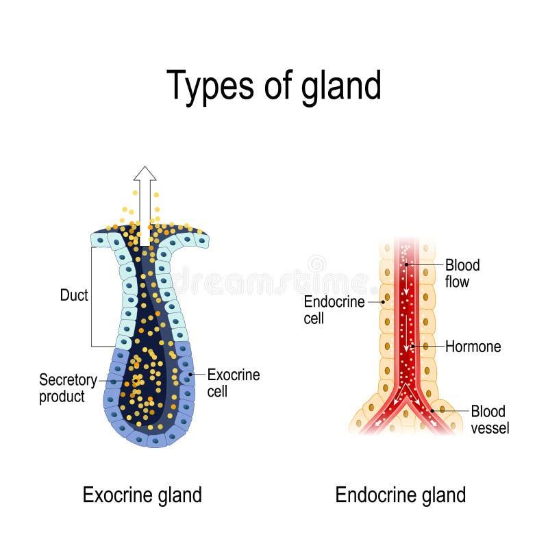 Anatomi av en endokrin körtel och exocrine körtlar royaltyfri illustrationer