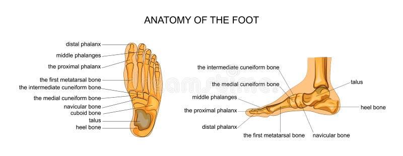 Anatomi av en skelett- fot vektor illustrationer