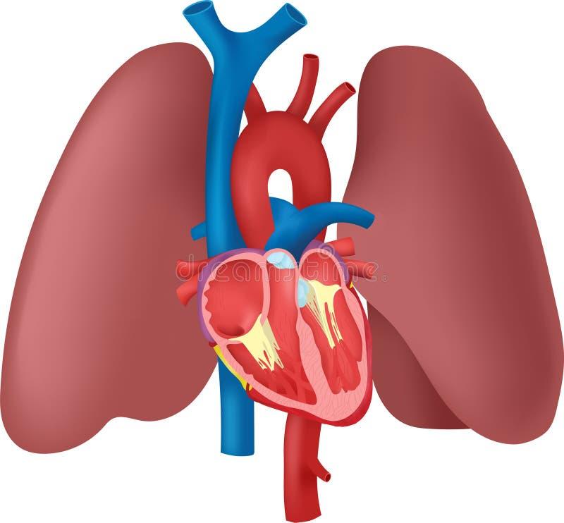 Anatomi av hjärtan och lungorna vektor illustrationer