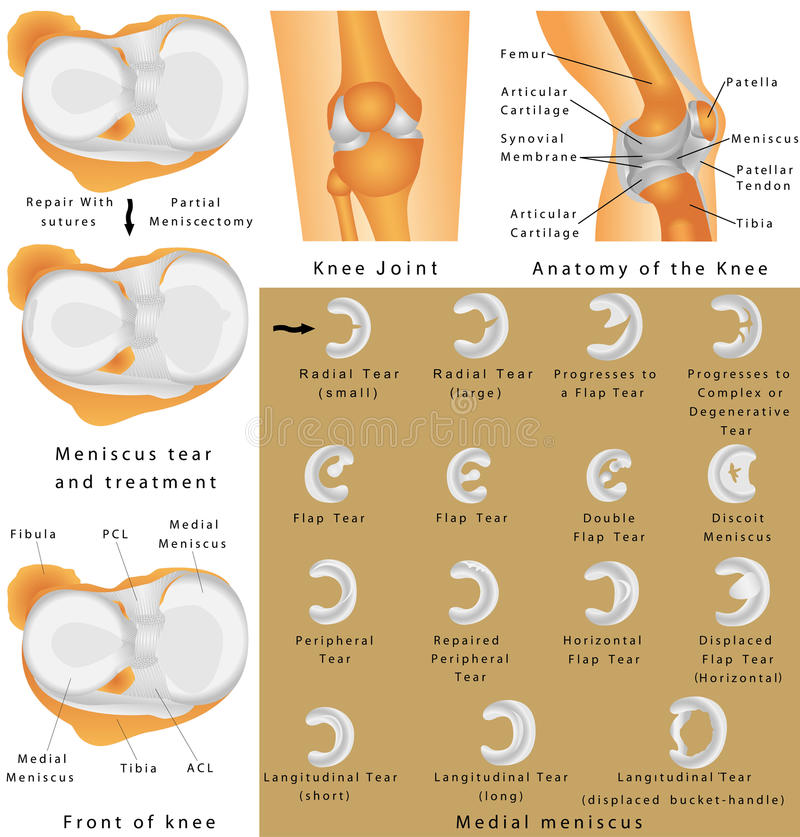 Anatomi av knäet royaltyfri illustrationer