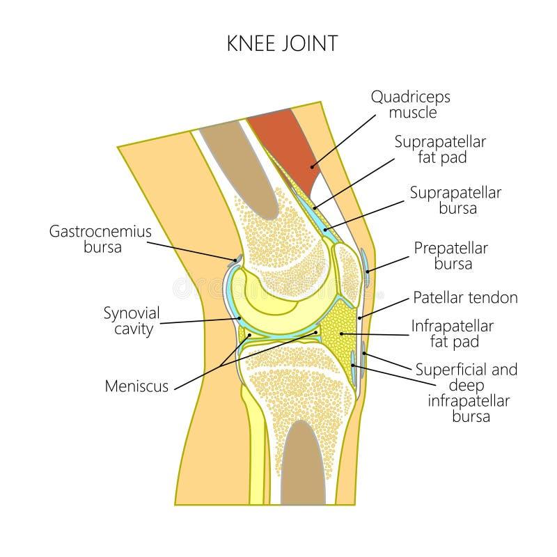 Anatomi av knäet stock illustrationer