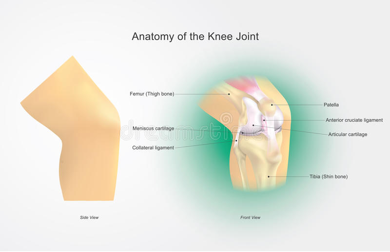 Anatomi av knäleden stock illustrationer