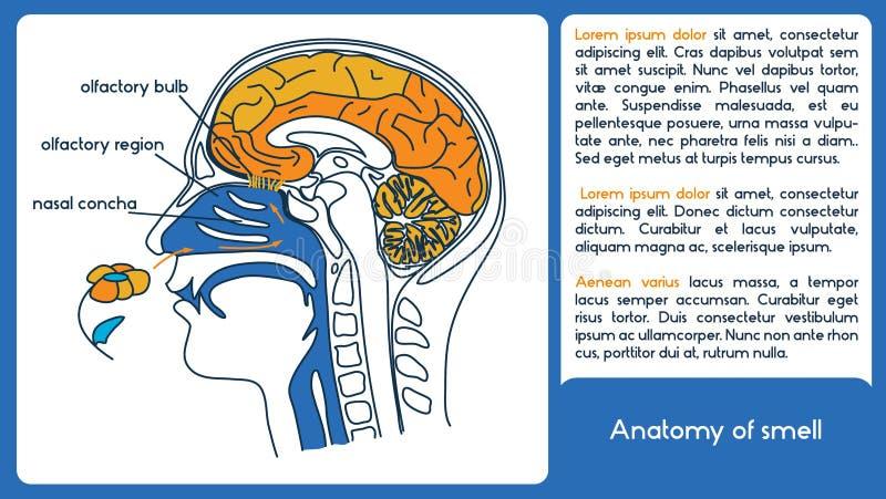 Anatomi av lukten Från lukt- region till den lukt- kulan stock illustrationer