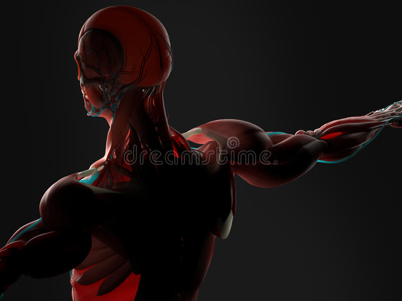 Anatomi av människabaksida stock illustrationer