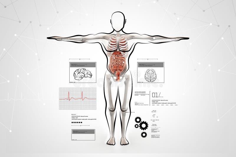 Anatomi av människokroppen royaltyfri illustrationer