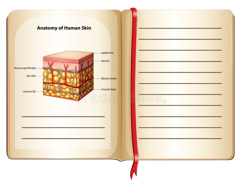 Anatomi av mänsklig hud på en sida royaltyfri illustrationer