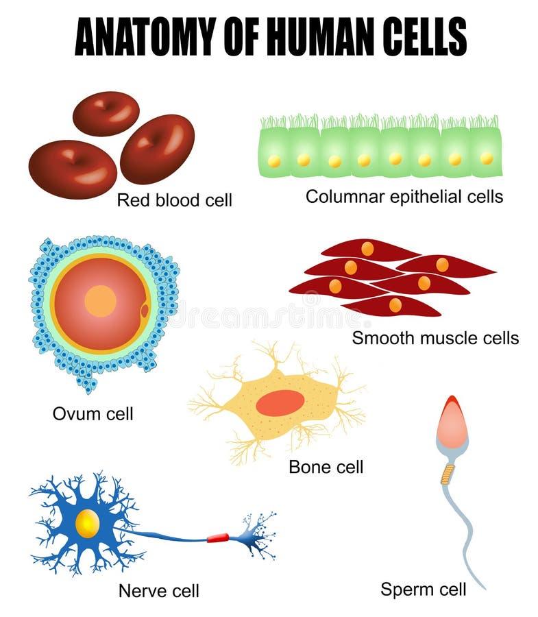 Anatomi av mänskliga celler vektor illustrationer