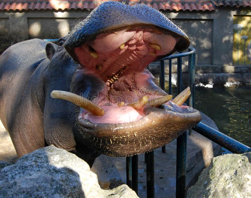 Anatomi av munnen av en flodhäst arkivbilder