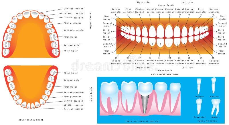 Anatomi av tänder vektor illustrationer