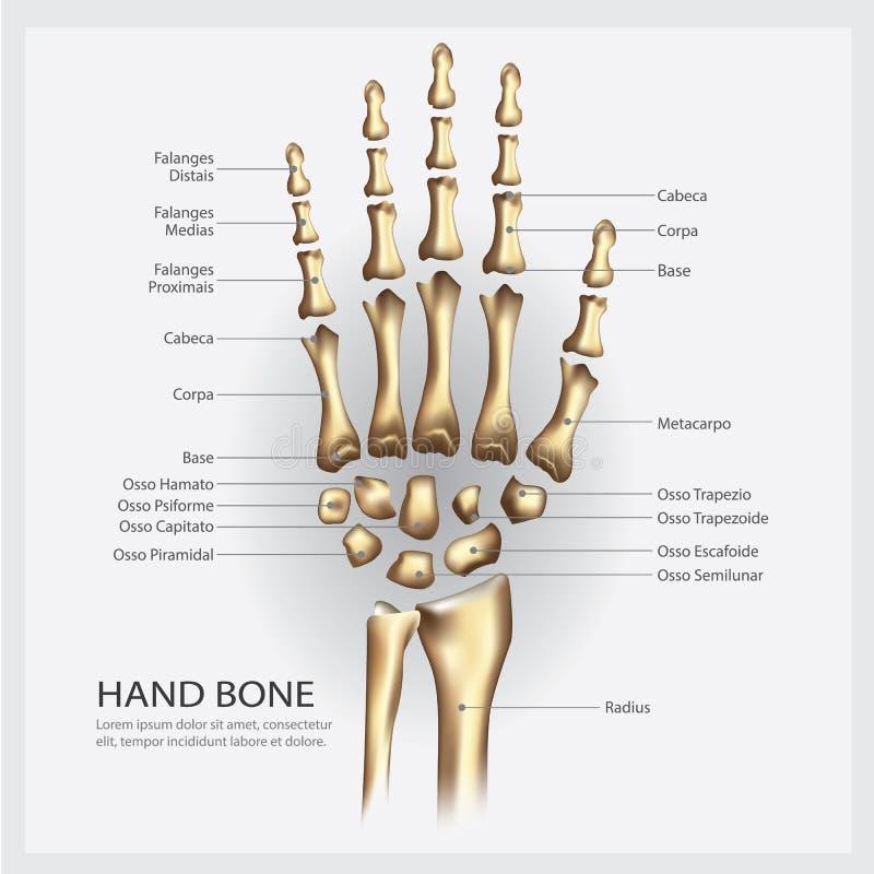 Anatomi för handben med detaljen royaltyfri illustrationer
