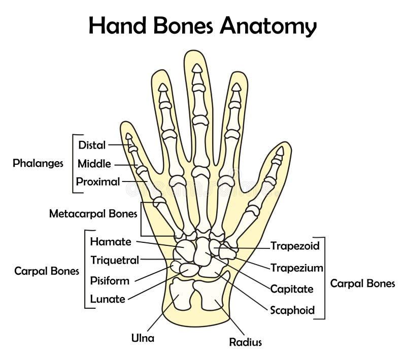 Anatomi för handben med detaljvektorillustrationen royaltyfri illustrationer