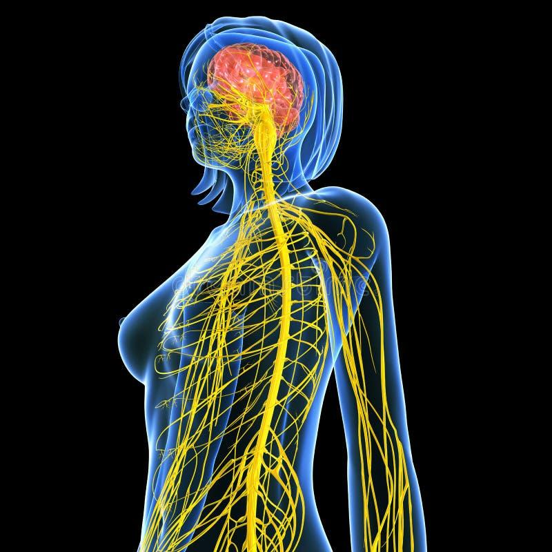 Anatomi för hjärna för kvinnlig för sidosikt med nervsystemet royaltyfri illustrationer