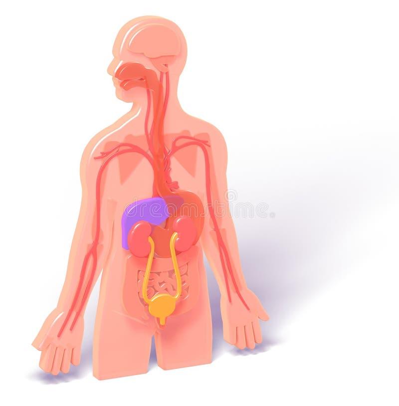 anatomi för illustration 3D med det urin- systemet royaltyfri illustrationer