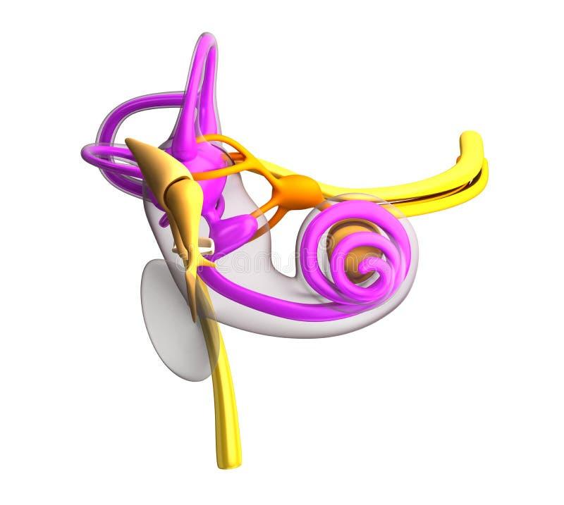 Anatomi för inre öra som isoleras på vit stock illustrationer