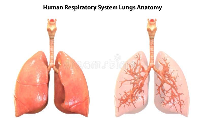 Anatomi för lungor för respiratoriskt system för människokropporgan stock illustrationer