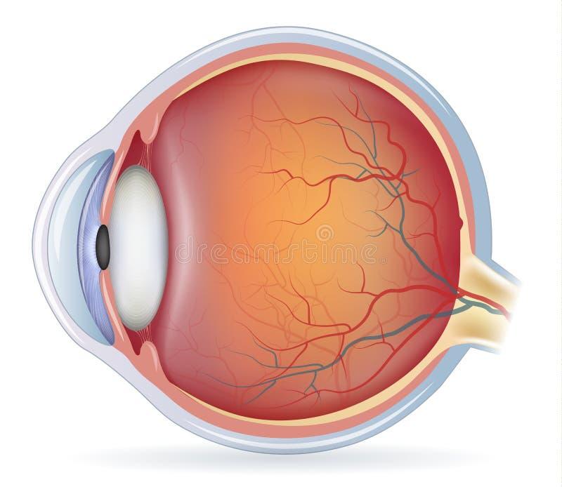 Anatomi för mänskligt öga stock illustrationer