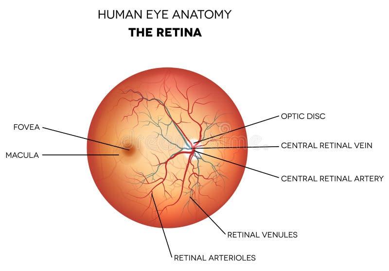 Anatomi för mänskligt öga, näthinna stock illustrationer