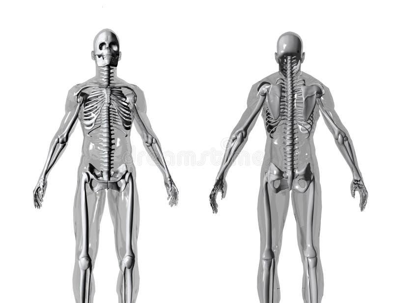 anatomi fb royaltyfri illustrationer