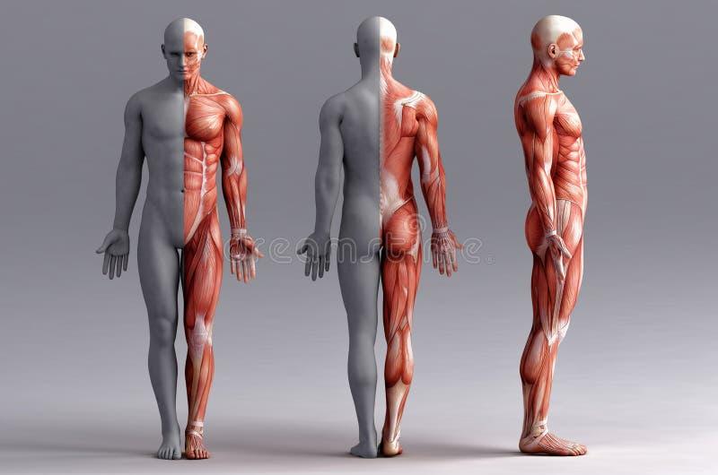 Anatomi muskler royaltyfri illustrationer